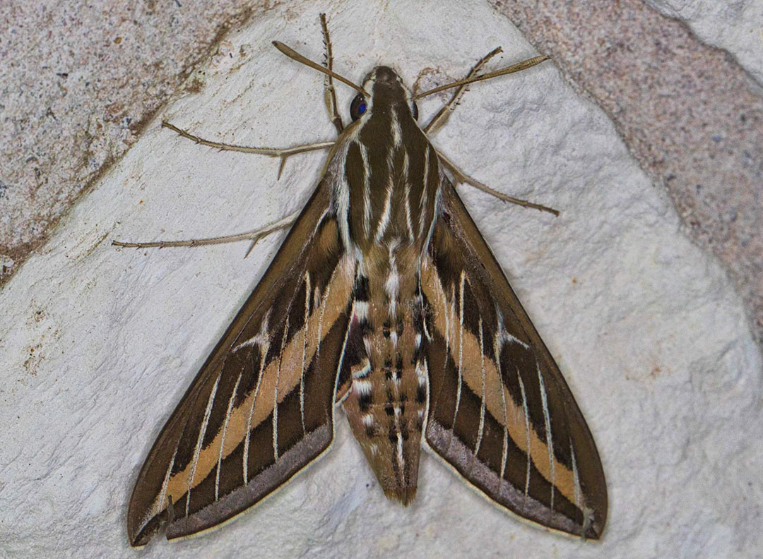 White-lined_Sphinx Moth (Photo courtesy of Eric Carpenter)