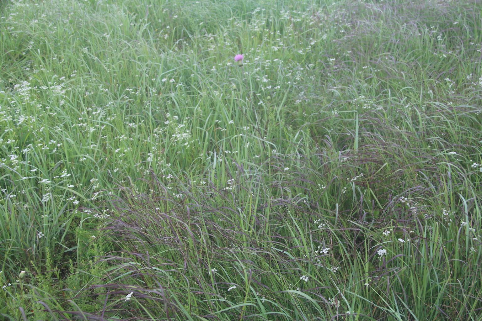Indian Grass and Big Bluestem Quebe Prairie