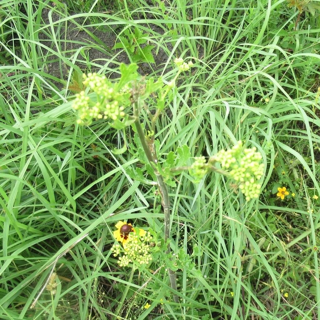 Texas prairie parsley